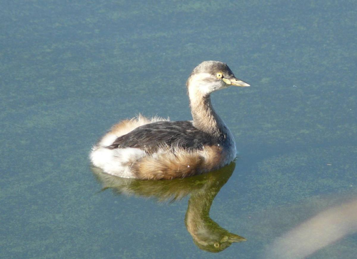 Little Yellow Bird >> Australasian little grebe | New Zealand Birds Online