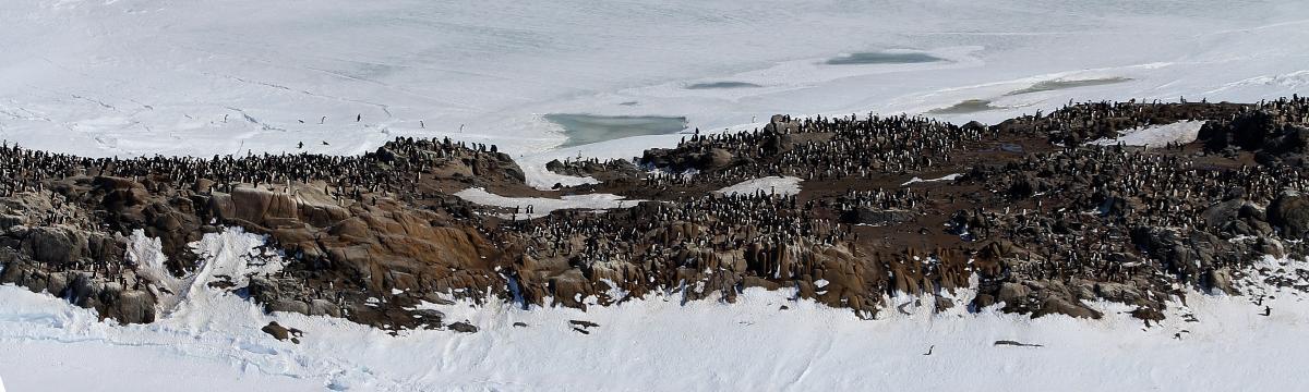 Adelie Penguin New Zealand Birds Online