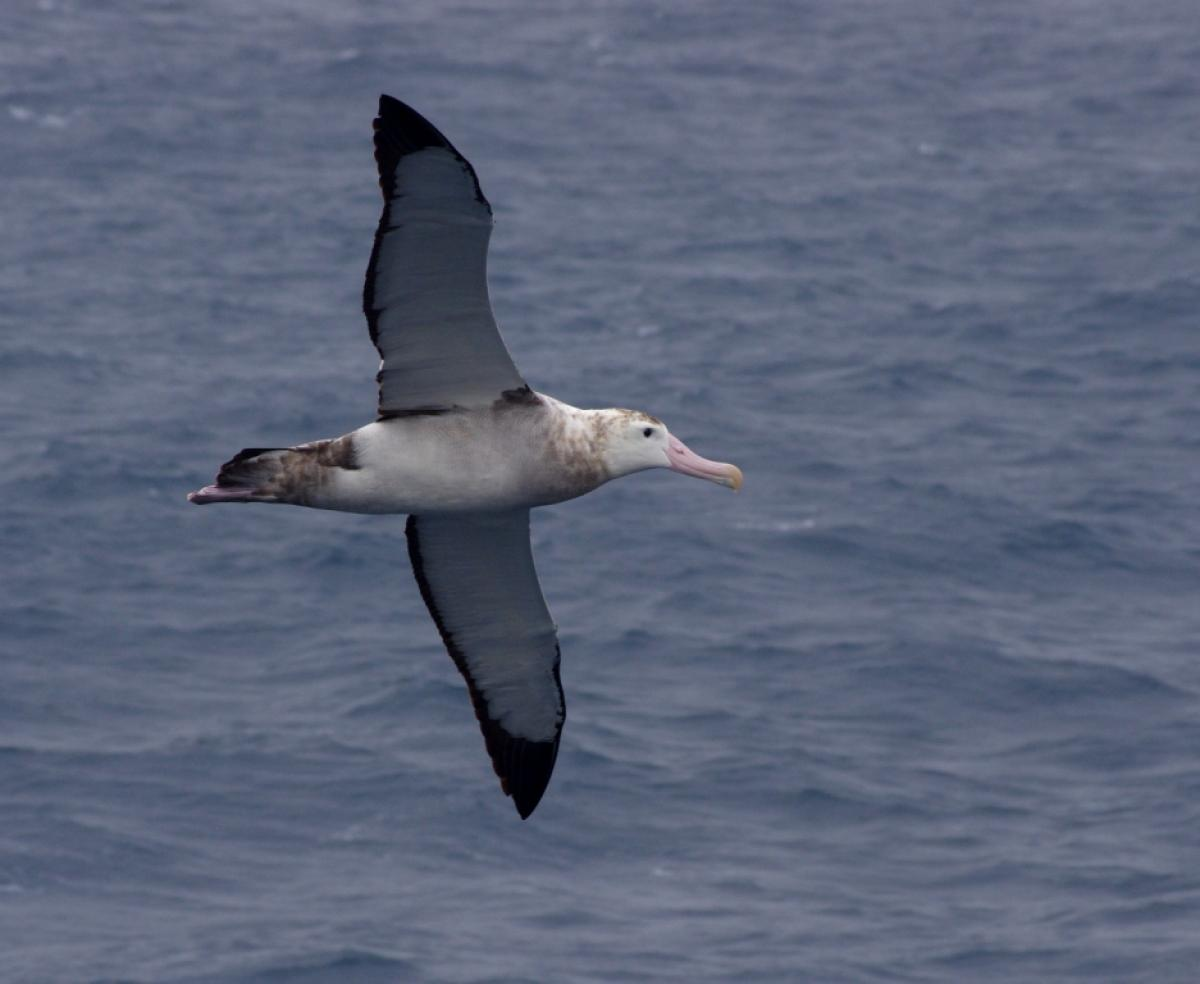 Wandering albatross | New Zealand Birds Online