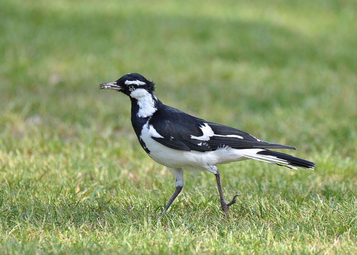 Magpie-lark | New Zealand Birds Online - photo#47
