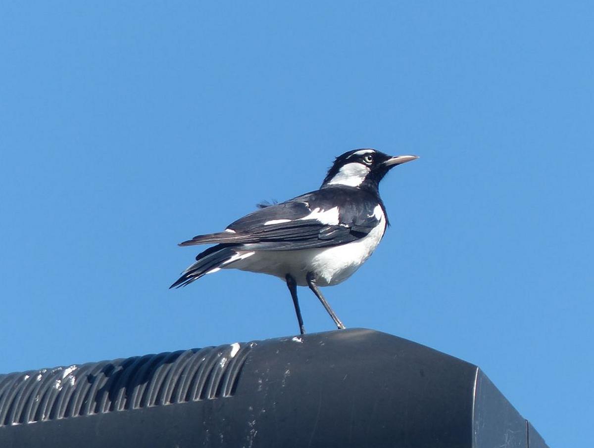 Magpie-lark | New Zealand Birds Online - photo#49
