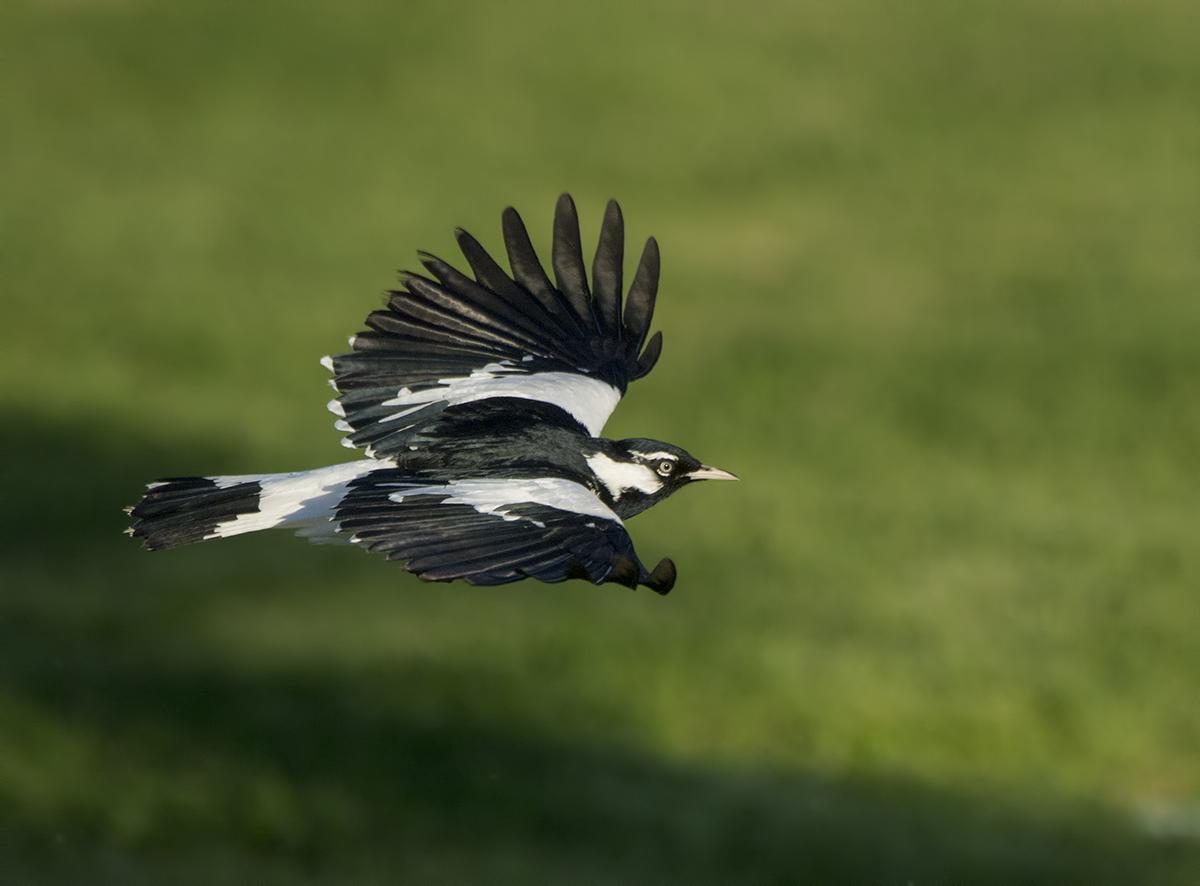 Magpie-lark | New Zealand Birds Online - photo#39