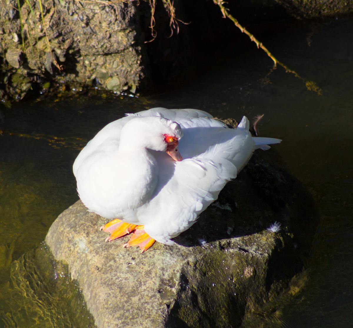 Muscovy duck | New Zealand Birds Online