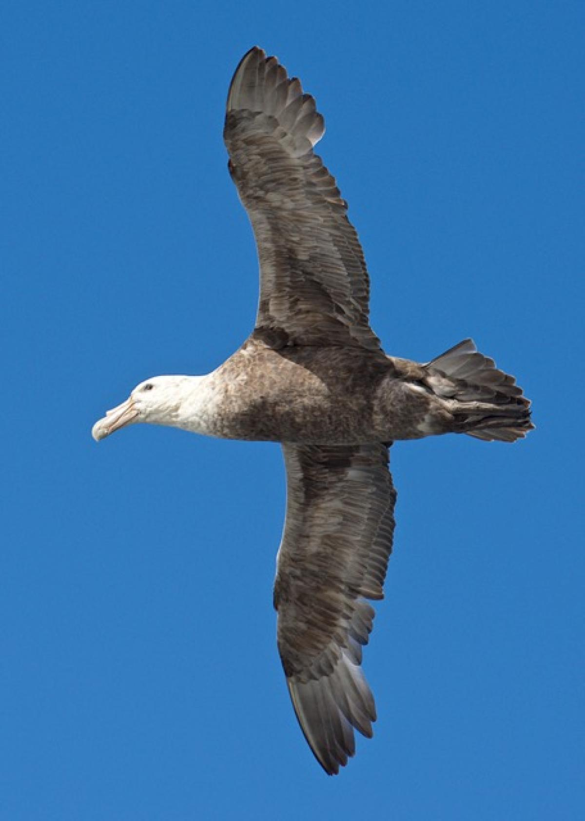 Southern Giant Petrel New Zealand Birds Online