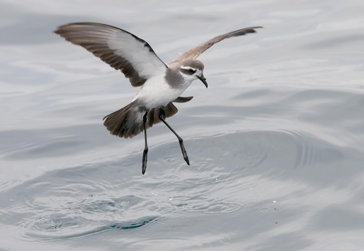 Storm petrel bird