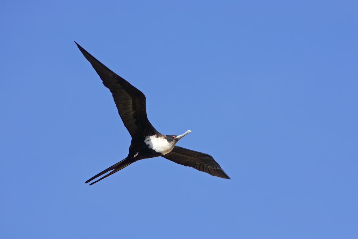 great frigatebird Islands: the great frigatebird and the magnificent frigatebird frigatebirds got their name because their large wings are reminiscent of the sails on ships.