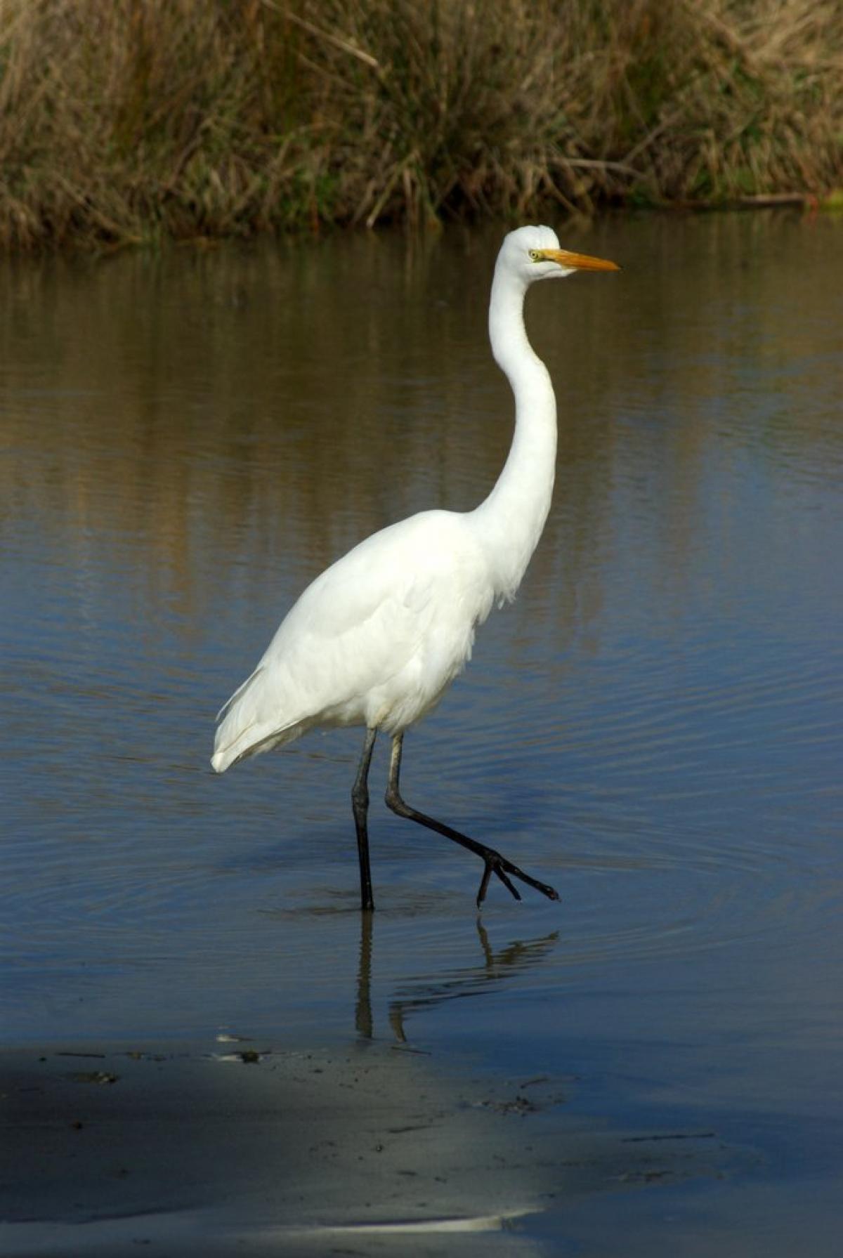 White herring bird - photo#16