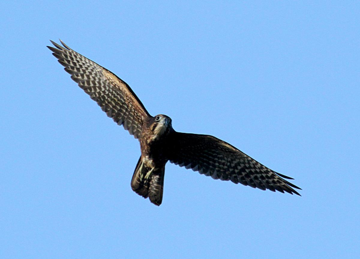 Falcon Online