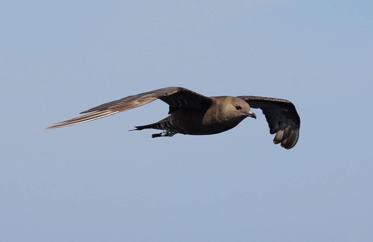 Long-tailed Skua « Austin Thomas Photography – Blog