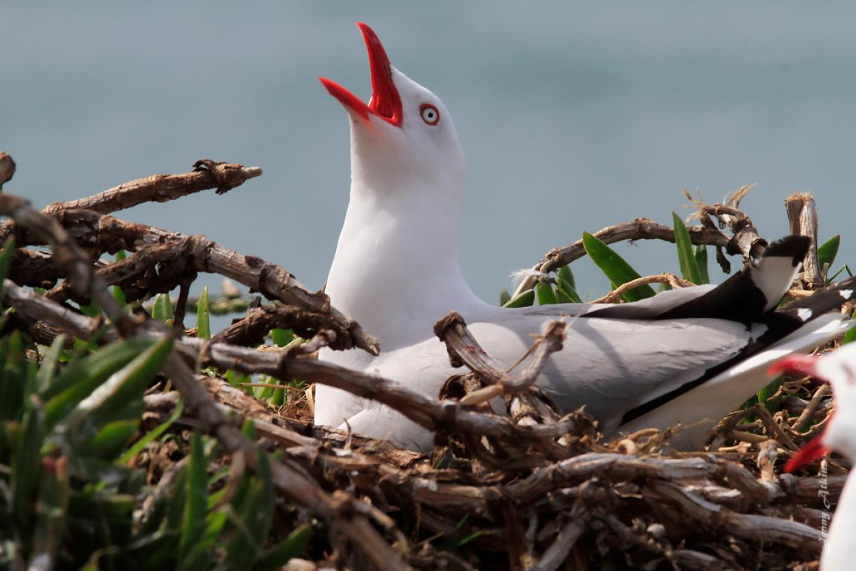 Red-billed gull | New Zealand Birds Online