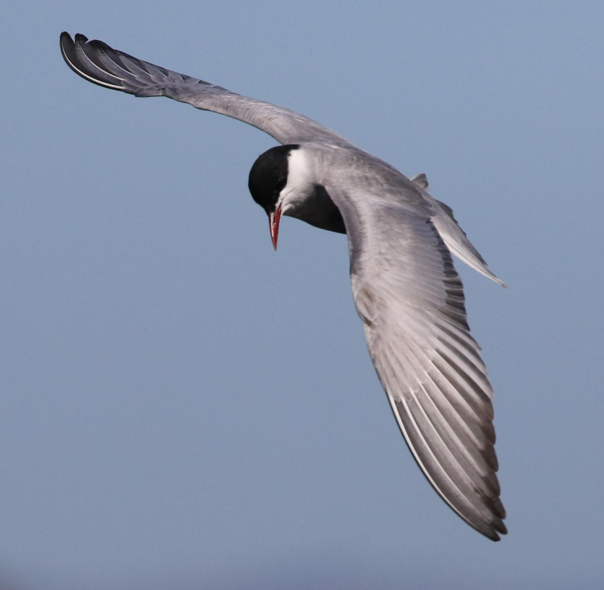 Whiskered tern new zealand birds online images sciox Choice Image