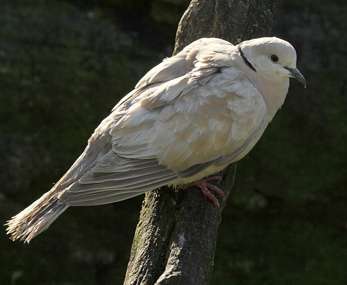 Barbary dove | New Zealand Birds Online