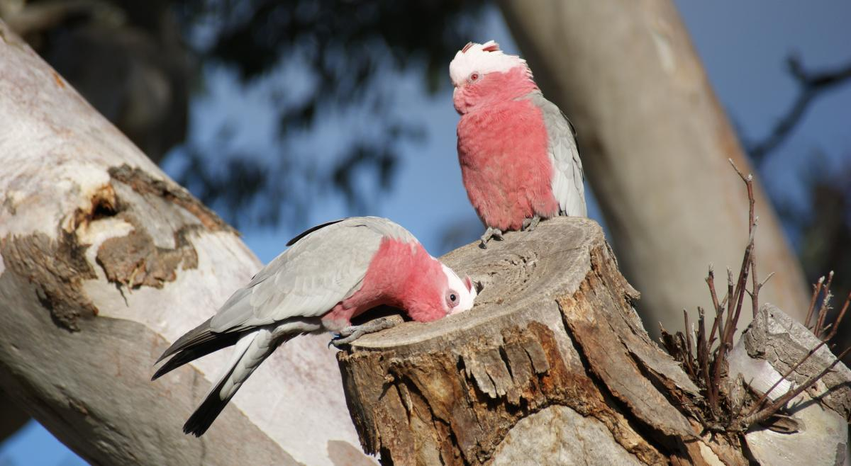 from Rhett male and female pink cockatoos
