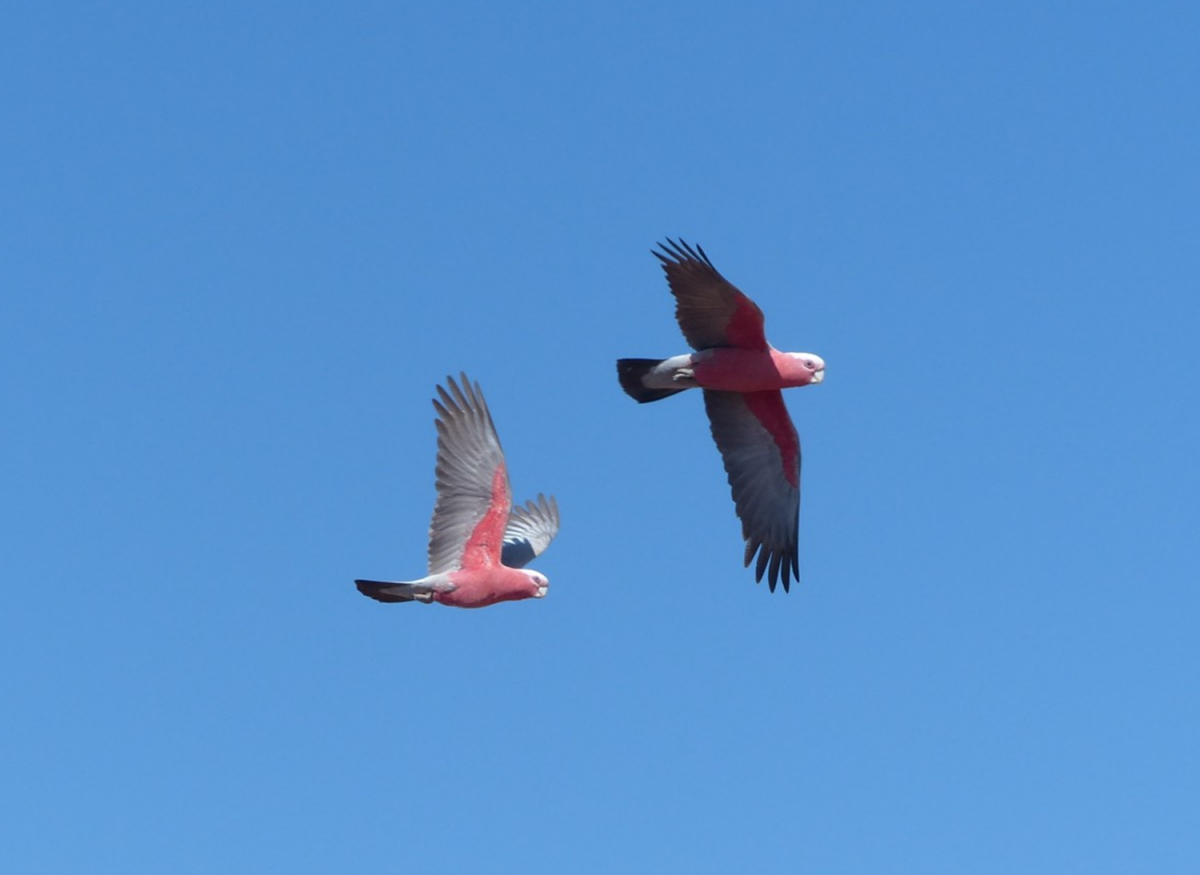 australian birds flying