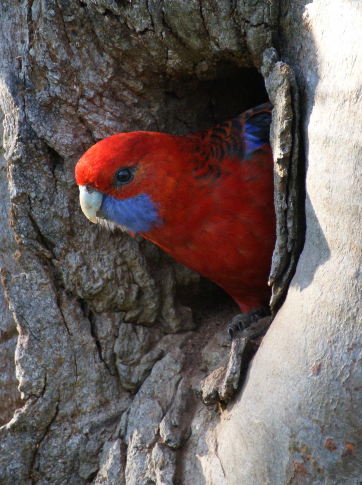 Crimson Rosella New Zealand Birds Online