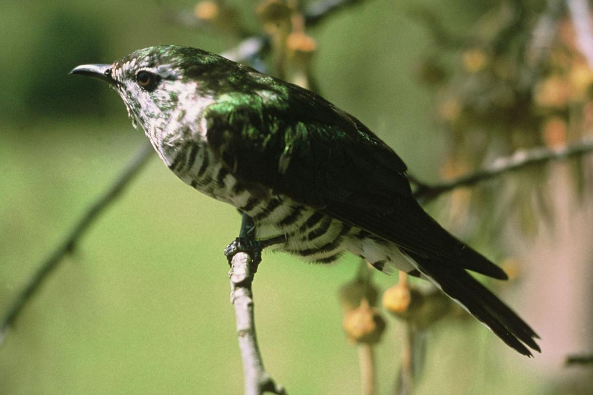 Shining Cuckoo New Zealand Birds Online