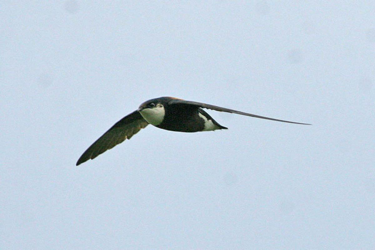 How fast can a spine tailed swift fly