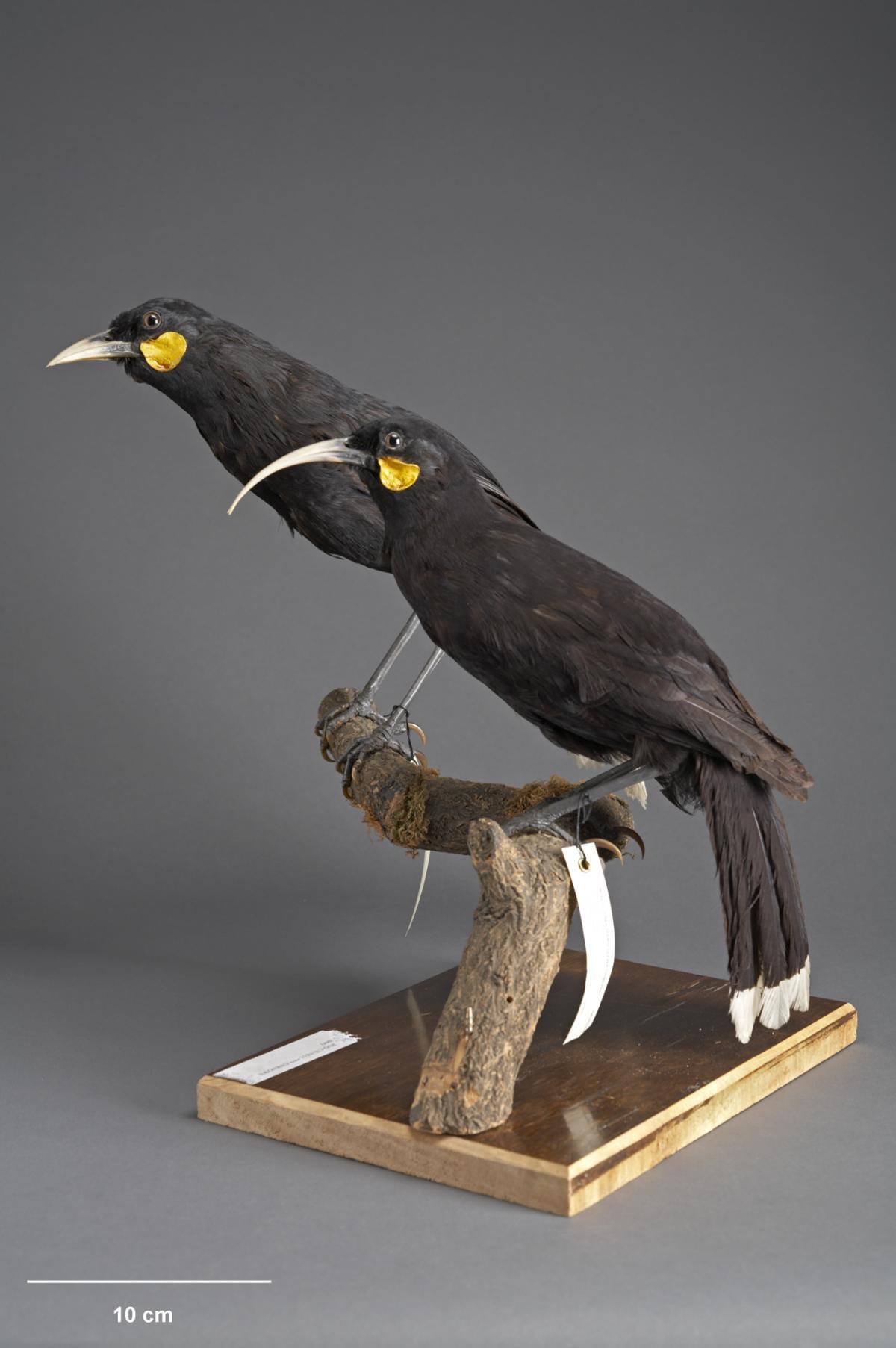 Huia | New Zealand Birds Online