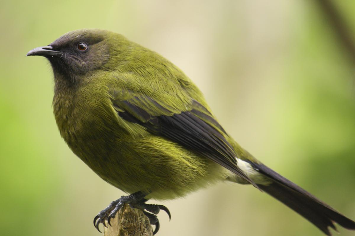 Bellbird new zealand birds online for Oiseau jaune et noir