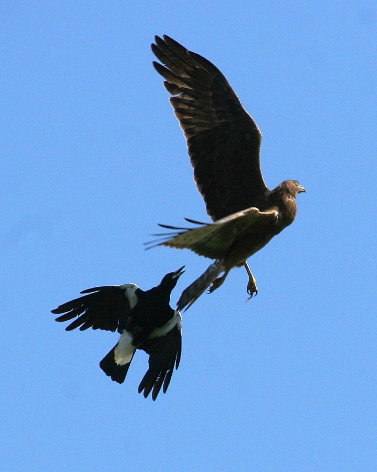 Australian magpie | New Zealand Birds Online - photo#40
