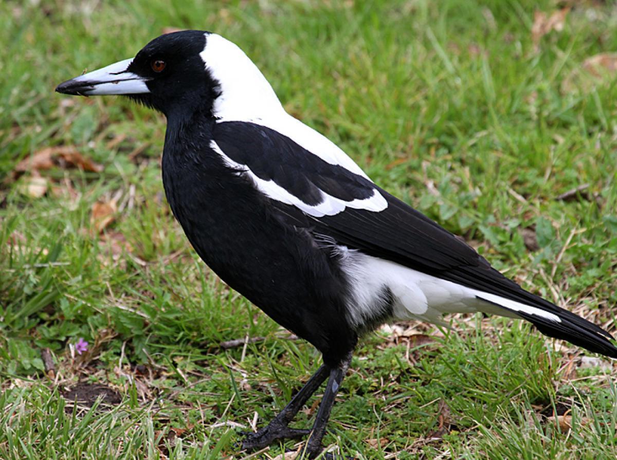 Australian magpie | New Zealand Birds Online - photo#19