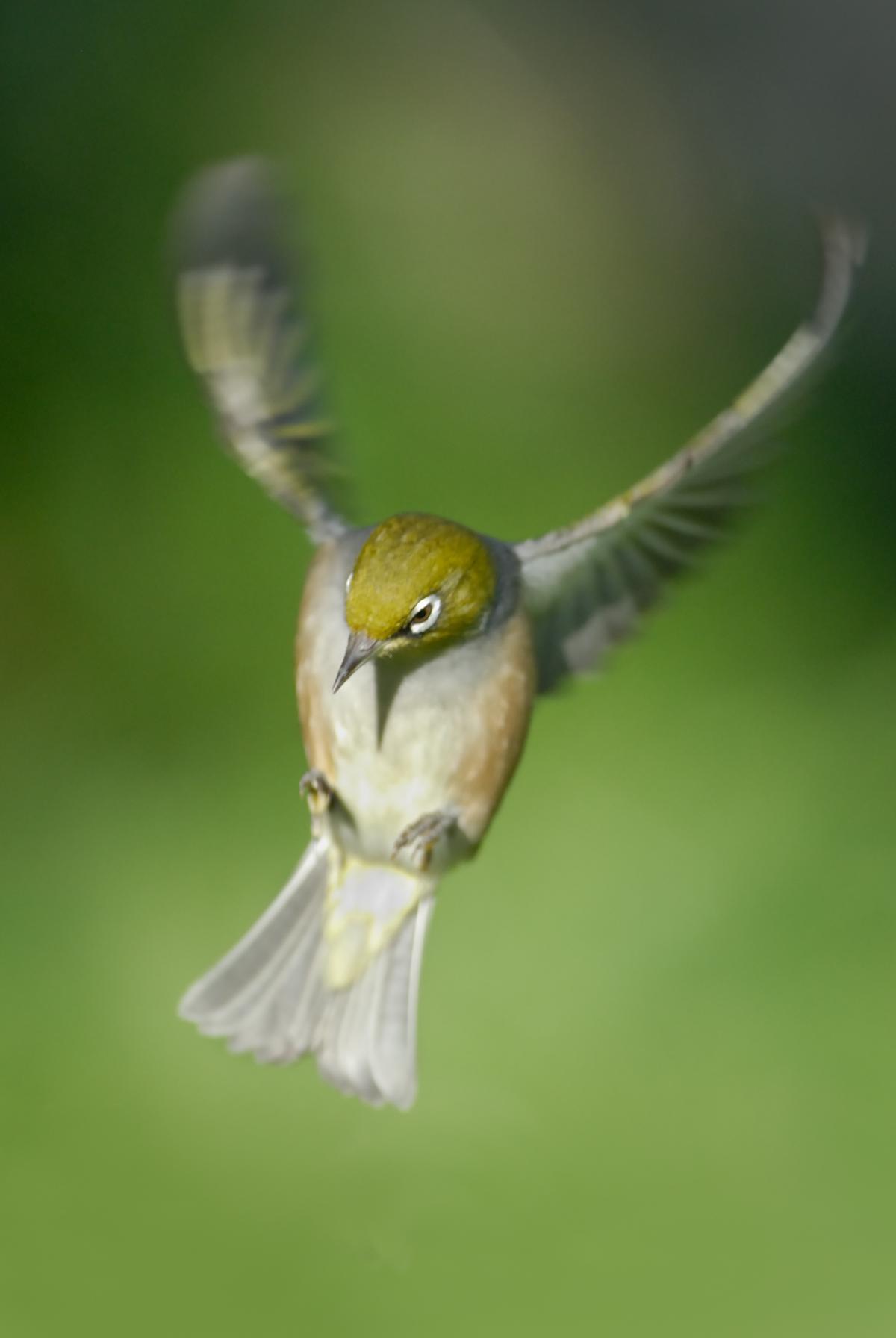 Silvereye | New Zealand Birds Online