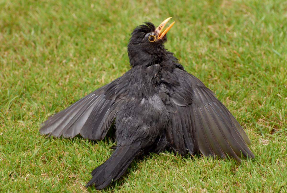 Eurasian blackbird | New Zealand Birds Online
