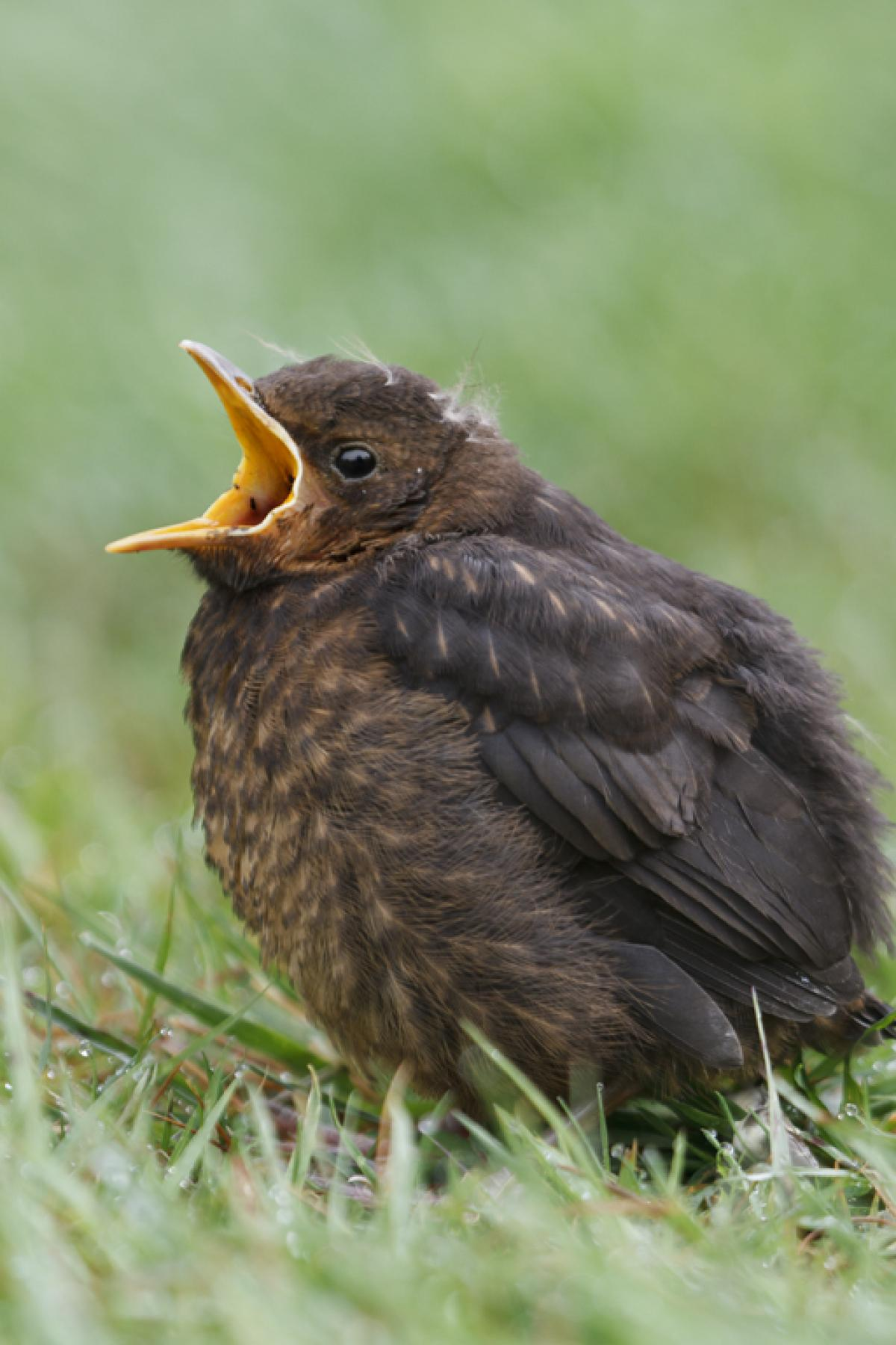 Eurasian blackbird   New Zealand Birds Online