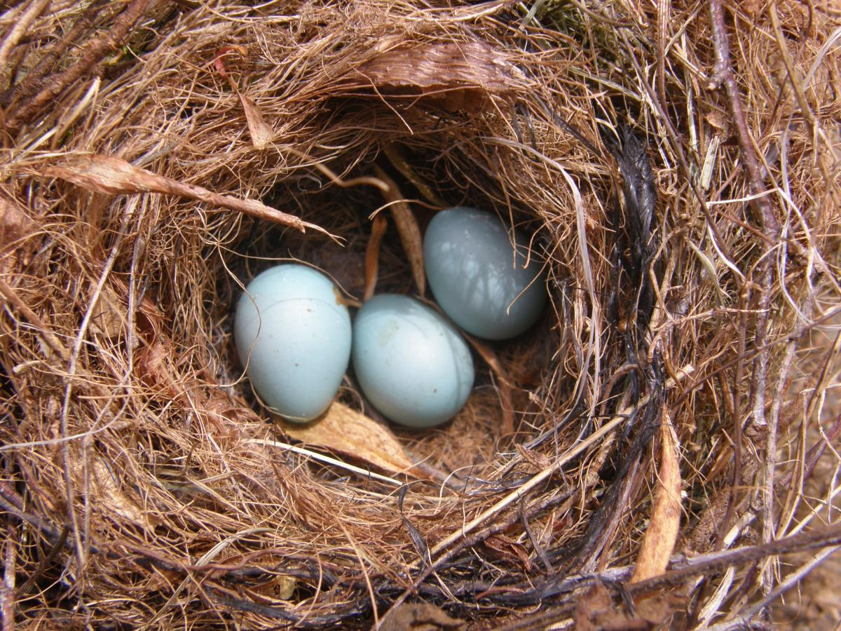 Dunnock | New Zealand Birds Online