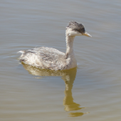 Hoary-headed grebe. Immature. Cooper Creek, South Australia, October 2013. Image © Alan Tennyson by Alan Tennyson