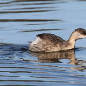 Hoary-headed grebe. Adult. Laratinga Wetlands, South Australia, June 2015. Image © John Fennell by John Fennell