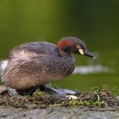 Australasian little grebe. Adult on nest about to settle over egg. Hervey Bay, Queensland, Australia, September 2010. Image © Tony Whitehead by Tony Whitehead www.wildlight.co.nz