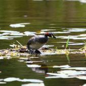 Australasian little grebe. Adult on nest. Auckland region, January 2012. Image © Craig Steed by Craig Steed