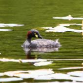 Australasian little grebe. Adult breeding plumage. Auckland region, January 2012. Image © Craig Steed by Craig Steed