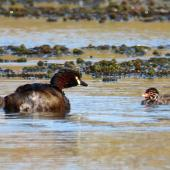 Australasian little grebe. Adult with 2 chicks (approx 3 days old). Tikipunga, November 2019. Image © Scott Brooks (ourspot) by Scott Brooks