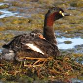 Australasian little grebe. Adult with chick on back (approx 3 days old) on floating nest. Tikipunga, November 2019. Image © Scott Brooks (ourspot) by Scott Brooks