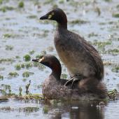 Australasian little grebe. Adult pair mating. Tikipunga, Whangarei, October 2019. Image © Scott Brooks (ourspot) by Scott Brooks