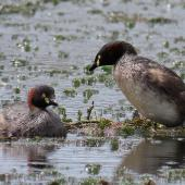 Australasian little grebe. Adult pair building floating nest on lake. Tikipunga, Whangarei, October 2019. Image © Scott Brooks (ourspot) by Scott Brooks