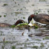Australasian little grebe. Adult pair on floating nest with fresh egg. Female turning egg. Tikipunga, Whangarei, October 2019. Image © Scott Brooks (ourspot) by Scott Brooks