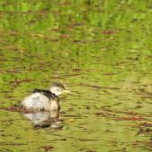 Australasian little grebe. Juvenile. Waioneke, South Kaipara Head, May 2019. Image © Denise Poyner by Denise Poyner