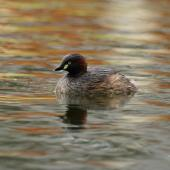 Australasian little grebe. Breeding plumage adult swimming near nest. Mandurah, Western Australia, September 2013. Image © Roger Smith by Roger Smith