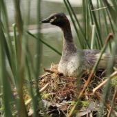 Australasian little grebe. Adult on nest. Mandurah, Western Australia, September 2013. Image © Roger Smith by Roger Smith