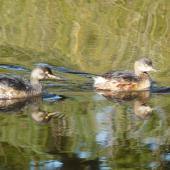 Australasian little grebe. Adults in non-breeding plumage. Centennial Park, Sydney, June 2009. Image © Alan Tennyson by Alan Tennyson