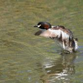 Australasian little grebe. Adult taking flight. The Secret Garden,  Gwelup,  Western Australia, January 2017. Image © Marie-Louise Myburgh by Marie-Louise Myburgh