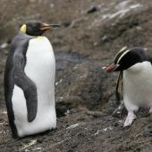 King penguin. Subadult at start of moult, with erect-crested penguin. Antipodes Island, January 2010. Image © David Boyle by David Boyle