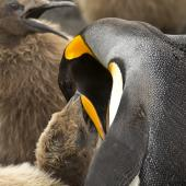 King penguin. Adult feeding chick. St Andrew Bay, South Georgia, January 2016. Image © Rebecca Bowater  by Rebecca Bowater FPSNZ AFIAP www.floraandfauna.co.nz