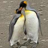 King penguin. Pair of adults. St Andrew Bay, South Georgia, January 2016. Image © Rebecca Bowater  by Rebecca Bowater FPSNZ AFIAP www.floraandfauna.co.nz