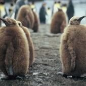 King penguin. Chicks. Macquarie Island, January 2006. Image © Department of Conservation ( image ref: 10062300 ) by Sam O'Leary. Courtesy of Department of Conservation
