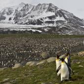 King penguin. Thousands of adults and chicks in a large colony. St Andrew Bay, South Georgia, January 2016. Image © Rebecca Bowater  by Rebecca Bowater FPSNZ AFIAP www.floraandfauna.co.nz