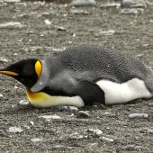 King penguin. Adult lying down. Salisbury Plain, South Georgia, January 2016. Image © Rebecca Bowater  by Rebecca Bowater FPSNZ AFIAP www.floraandfauna.co.nz